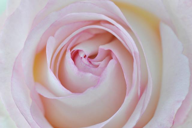 玫瑰花 (52)