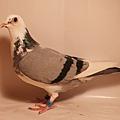 15-223817灰白羽母