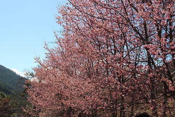 DPP_2014.2.23武陵櫻花祭(原始版)001.JPG