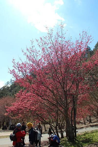 DPP_2014.2.23武陵櫻花祭(原始版)053.JPG
