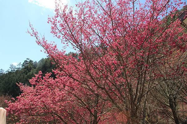 DPP_2014.2.23武陵櫻花祭(原始版)054.JPG