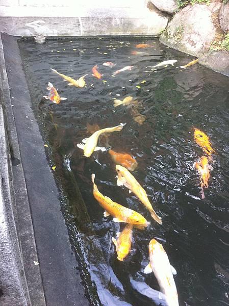 龍山寺的鯉魚