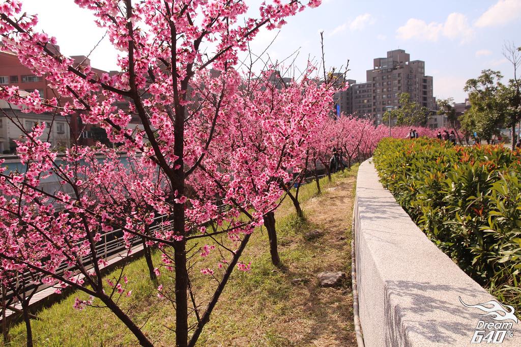 [新景點]台北市最美的櫻花河畔。康樂街61巷(內溝溪賞櫻步道)