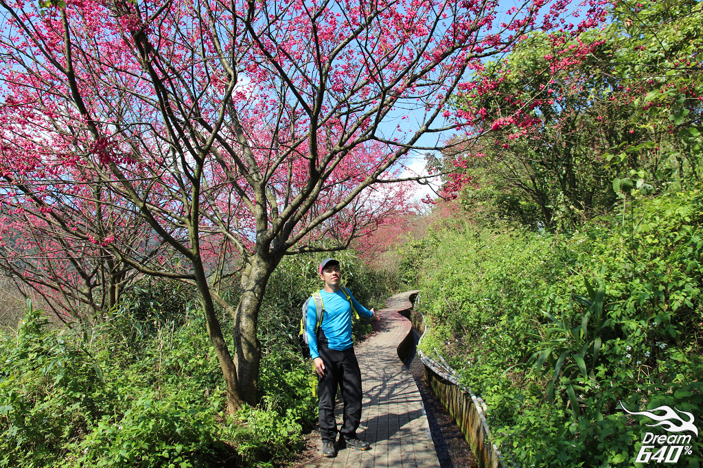 台北最安靜的櫻花海,開滿了水圳道。北投十八份賞櫻