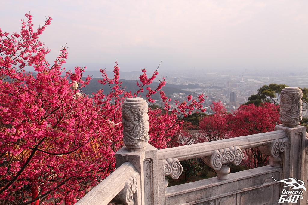 櫻花滿開在城市夜景之上。北投吳氏宗祠