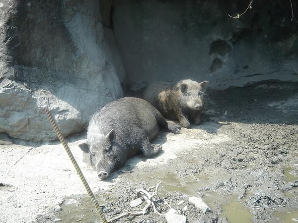 可愛的山豬