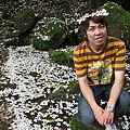 三峽 油桐花