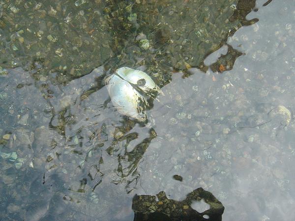 水溝裡 好大的蚌殼