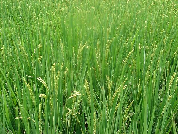 金山醫院附近的稻田