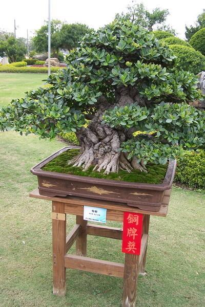 像這種可以得銅牌 榕樹