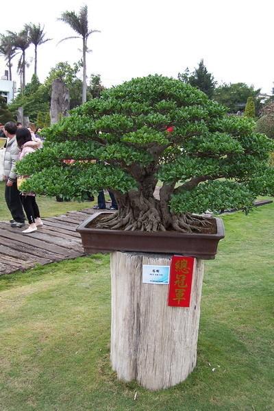 總冠軍 居然是榕樹