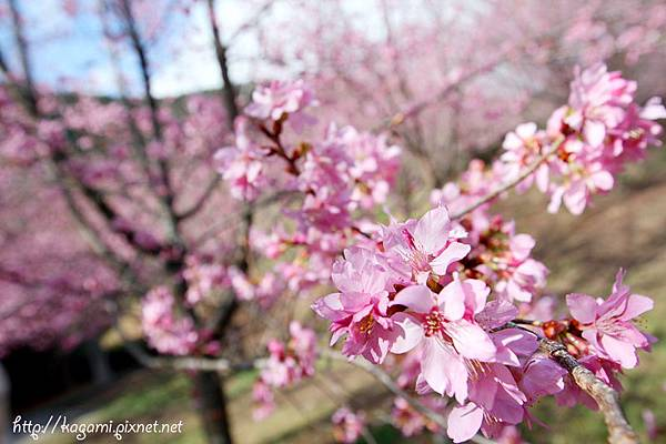 武陵春櫻: http://kagami.pixnet.net/blog/post/28457523