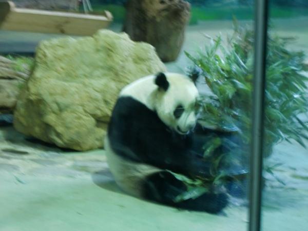 第二次進熊貓館有收穫啦