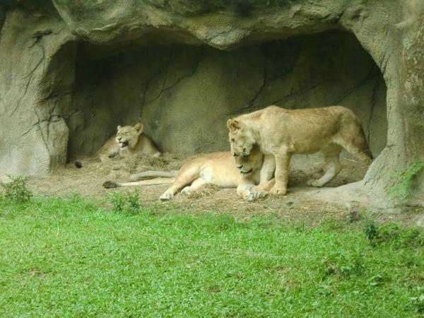 可是母獅子很酷都不理牠@@