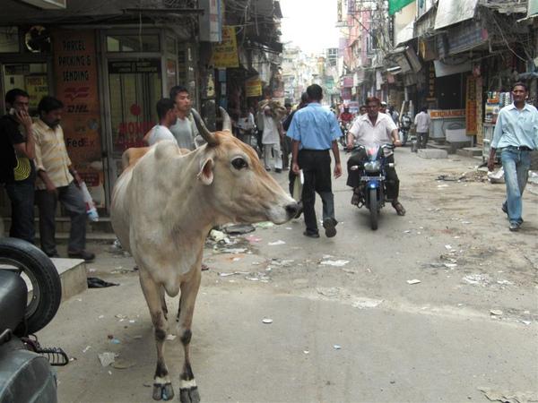 街道上的牛
