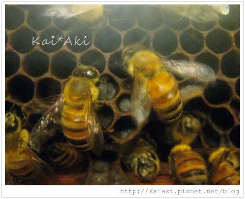 201009古坑-蜜蜂故事館-蜂.jpg