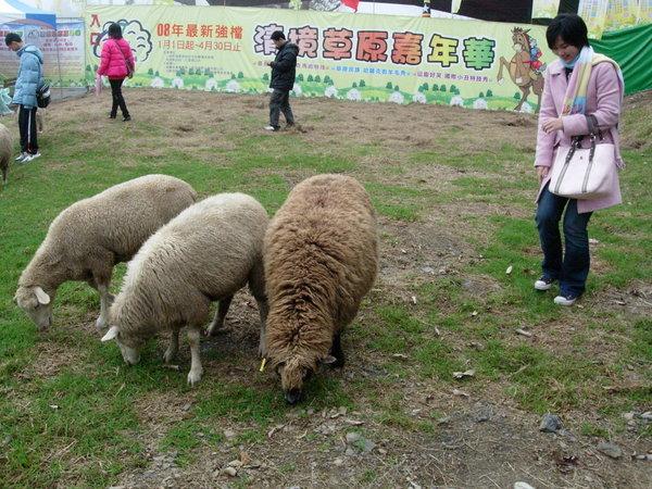 顧著吃草的羊們~好像餓很久