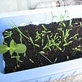 神秘種子發芽長大了!