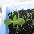 二種不同的種子長出芽來