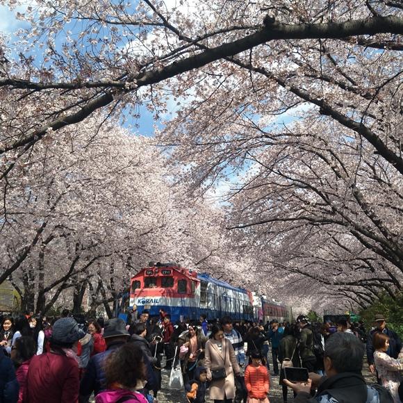 慶和櫻花.jpg