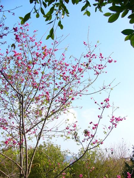 20090217 校園內的櫻花