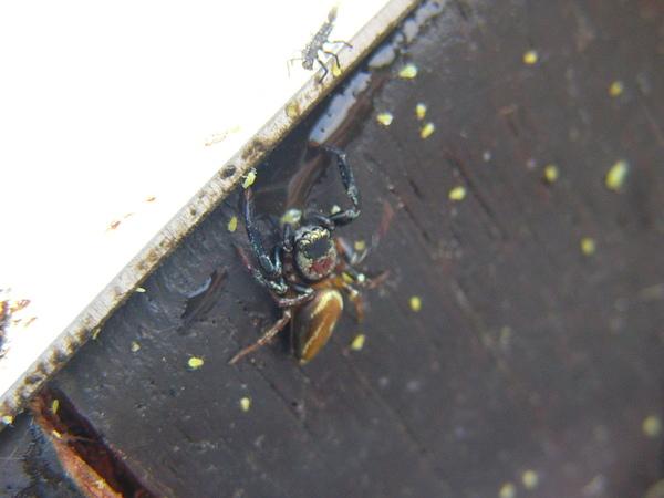 不知名的蜘蛛和一堆蚜蟲....
