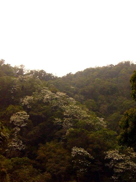 環湖公路某段山谷中盛開的桐花