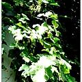 P1100021-路邊就有葡萄樹