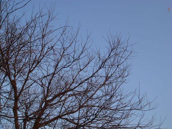 我愛的枯樹