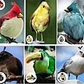 Angery Birds(真鳥版)
