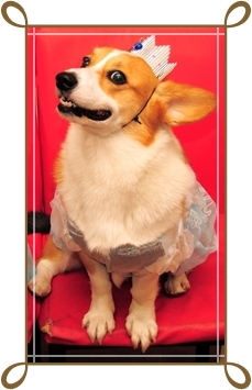 the Royal corgi.jpg