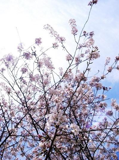 櫻花樹下4.jpg
