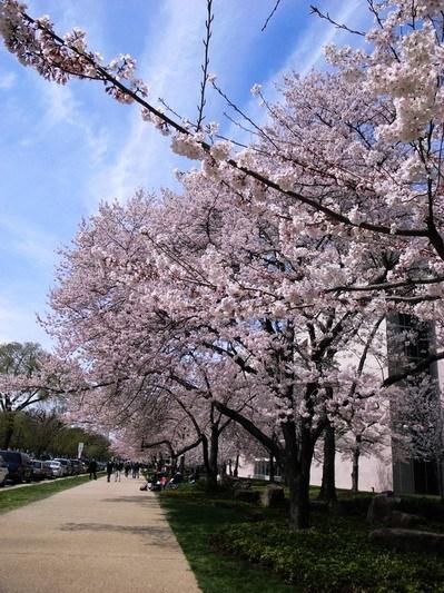 櫻花樹下6.jpg