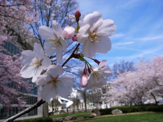 櫻花樹下7.jpg