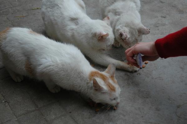鼓聲路-白貓家族