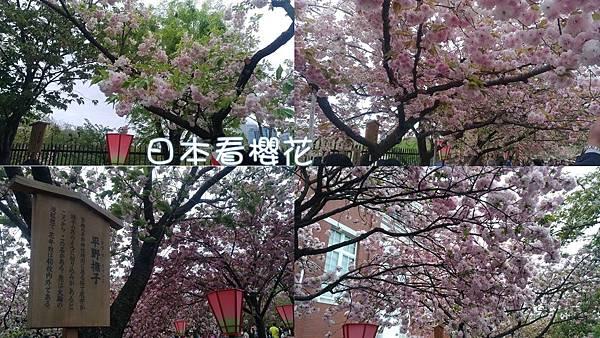 日本看櫻花