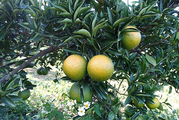 12橘子.JPG