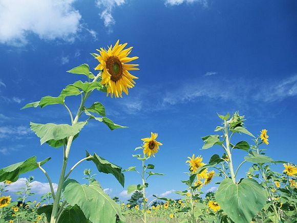 Blue_Sky_Flowers_HM055_350A.jpg
