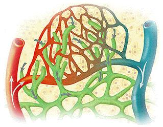 微血管組織.png