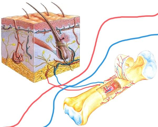 皮膚與骨頭血管.jpg
