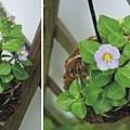 紫芳草2012-5-16.jpg-450