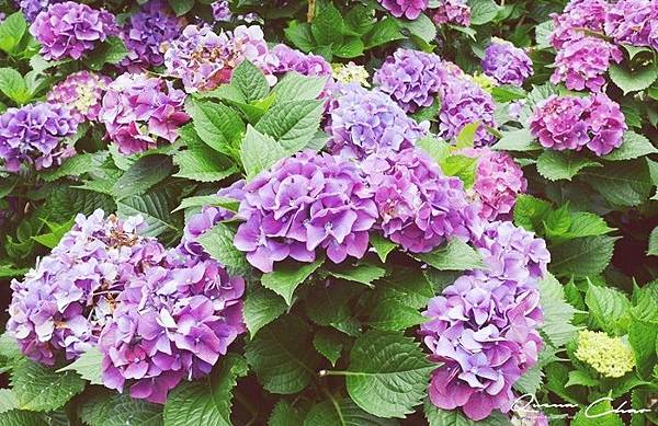 陽明山 竹子湖 繡球花 季節限定 大梯田生態農場