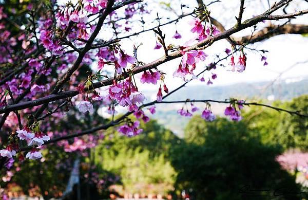 櫻花 天元宮