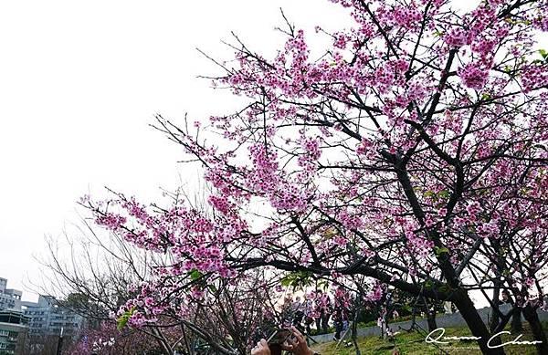 櫻花 樂活公園