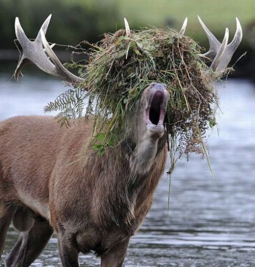 funny_elk_with_grass_on_its_head.jpg