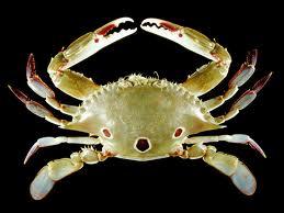 紅星梭子蟹