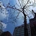 4/12 | 大安高工外的木棉樹