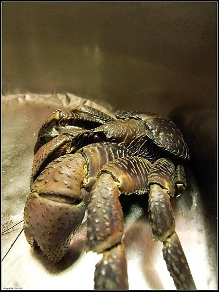4 - 等吃午餐 -09 椰子蟹