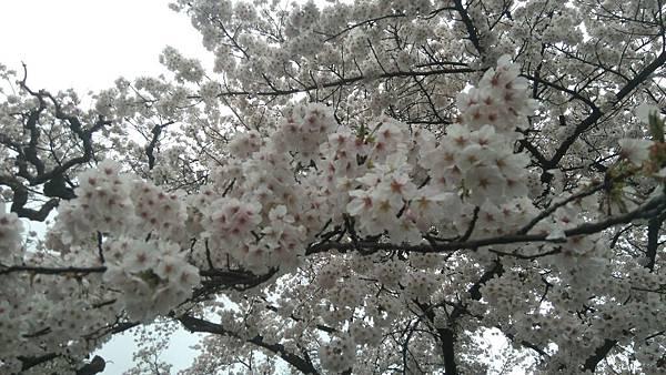 櫻花_170408_0005.jpg