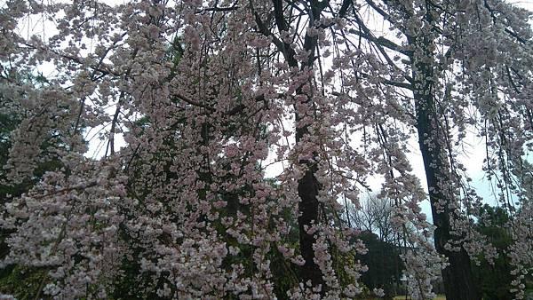 櫻花_170408_0012.jpg